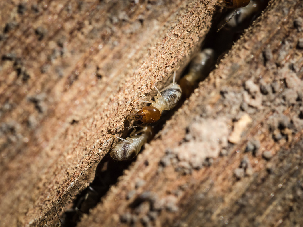 Learn how we treat termites and other wood-destroying organisms